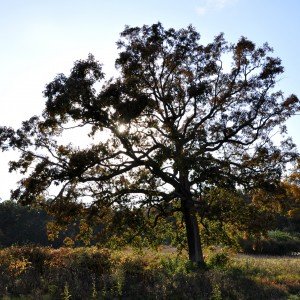View of an old white oak tree in the fields near Hartley Wood