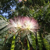 Close-up of Albizia julibrissin foliage