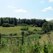 View of hybrid chestnut orchard field